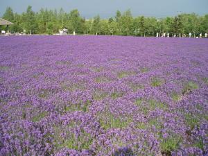 紫の大群、ニオイも強い♪