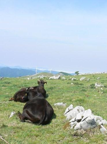 カルストと牛のコラボ